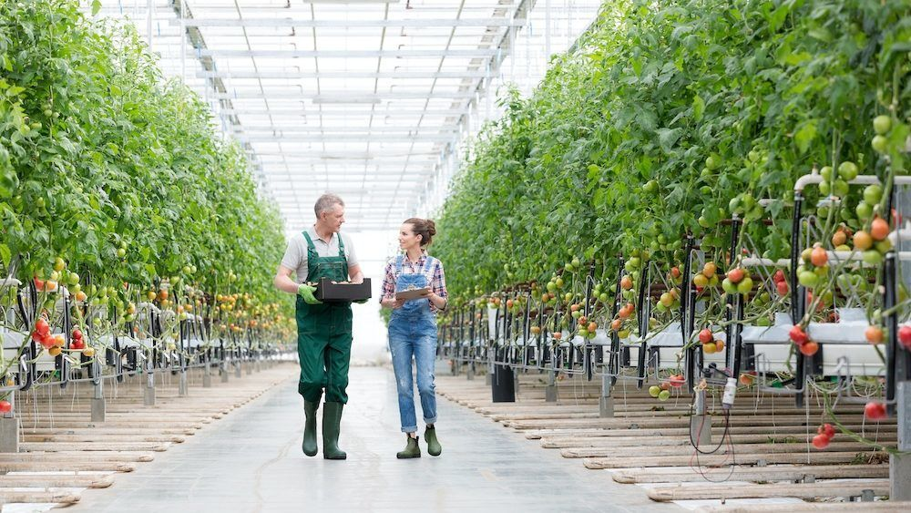 A female apprentice walking with her mentor in a large industrial greenhouse which is growing tomatoes.