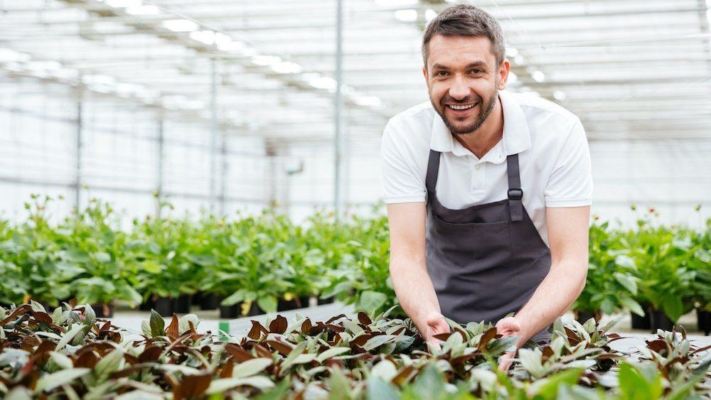 Male gardener working in a greenhouse and looking after growing plants.